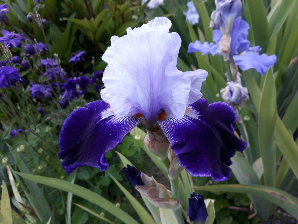 Iris 'Tempting Fate' - Duane Meek 1993 20210488