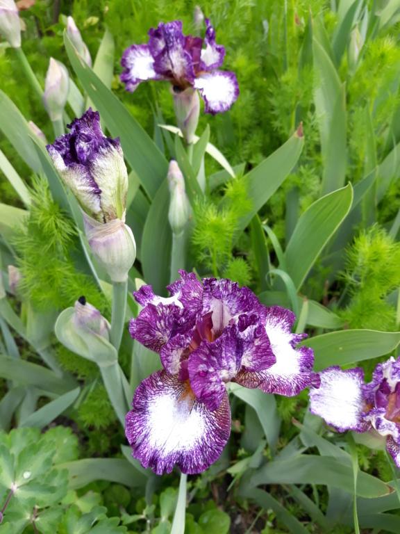 Floraison d'iris de 2017 ....... à 2021 - Page 22 20210510