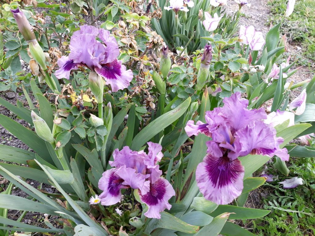 Floraison d'iris de 2017 ....... à 2021 - Page 23 20210515