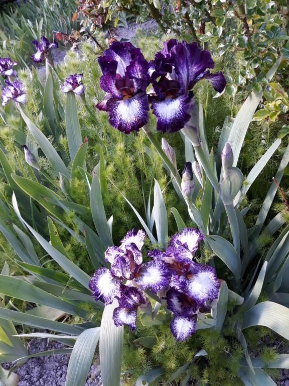 Floraison d'iris de 2017 ....... à 2021 - Page 23 20210527