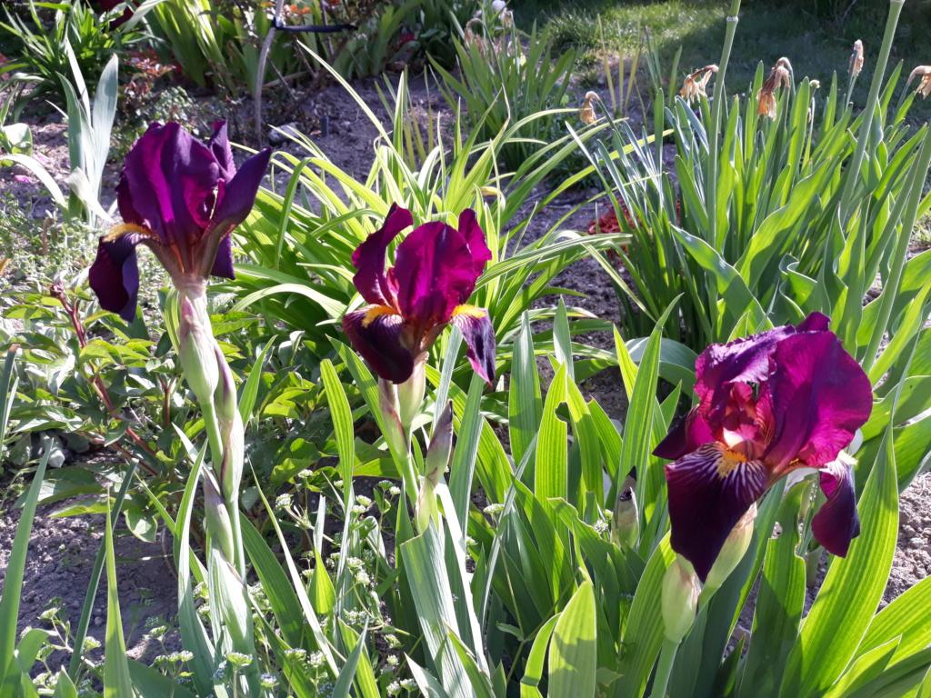 Floraison d'iris de 2017 ....... à 2021 - Page 23 20210528