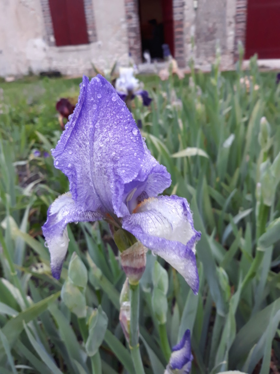 Iris plicata bleu - BPF Flora [identification en cours] 20210589