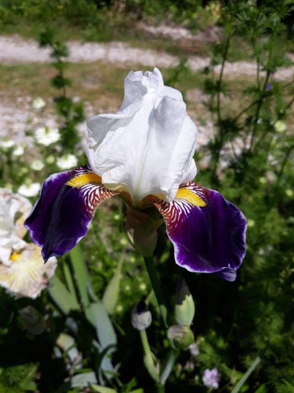 Iris 'Wabash' - Williamson 1936 20210695