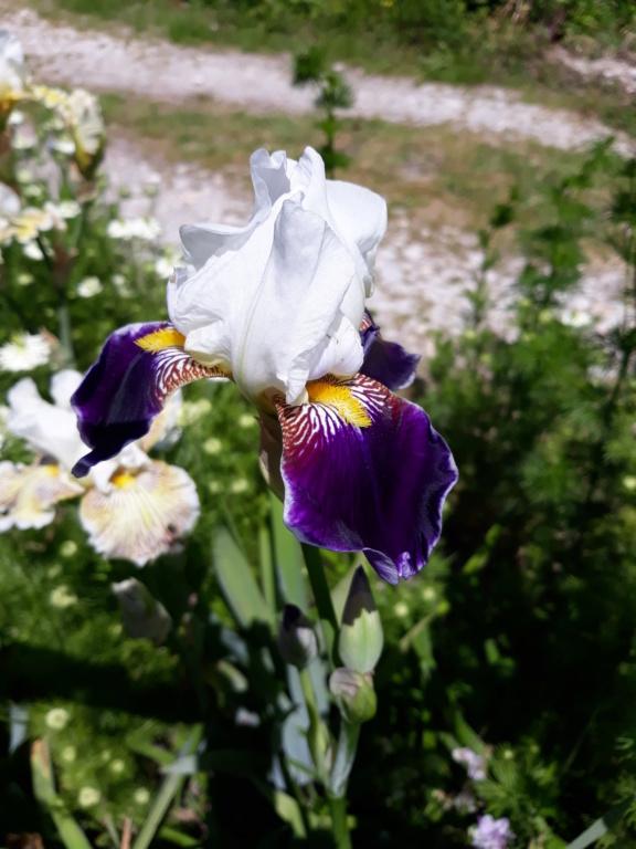 Iris 'Wabash' - Williamson 1936 20210697
