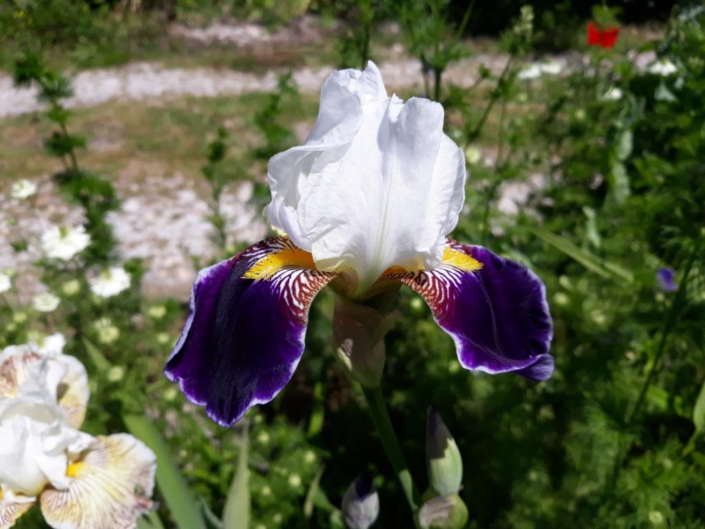 Iris 'Wabash' - Williamson 1936 20210698