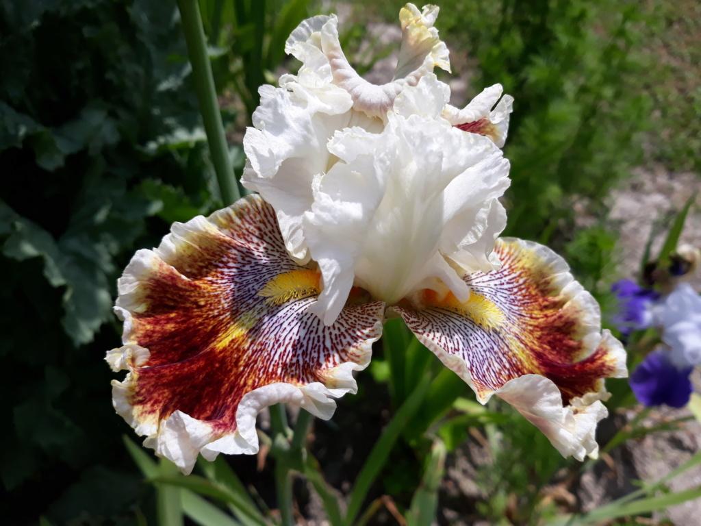 Floraison d'iris de 2017 ....... à 2021 - Page 38 20210708