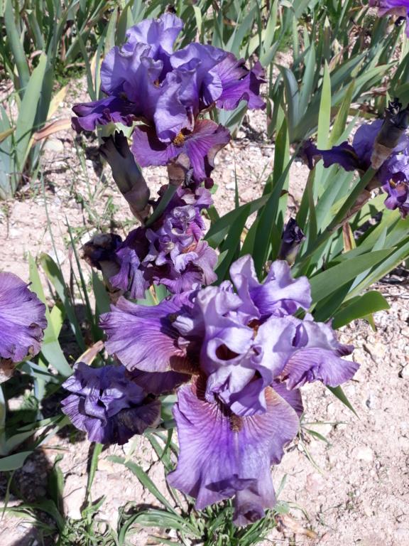 La route des Iris - étapes Cayeux et Domaine de Morchêne - Page 5 20210861