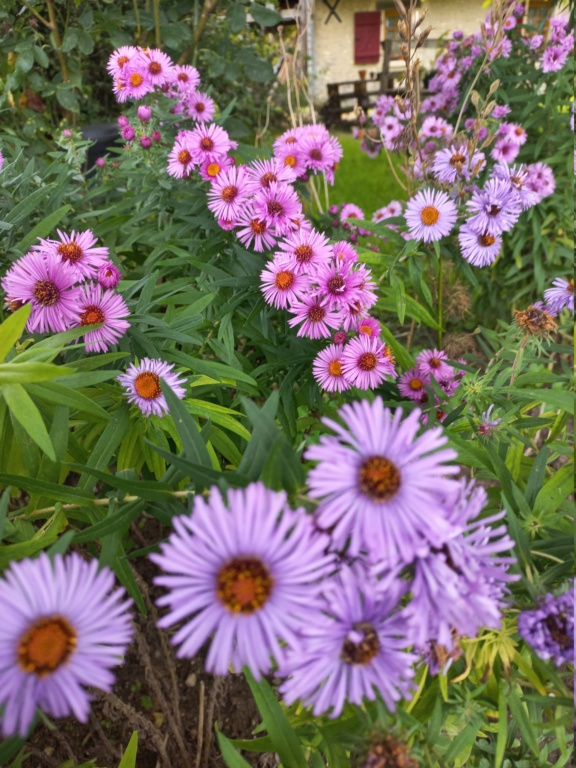 Aster d'automne  - Page 24 20211064