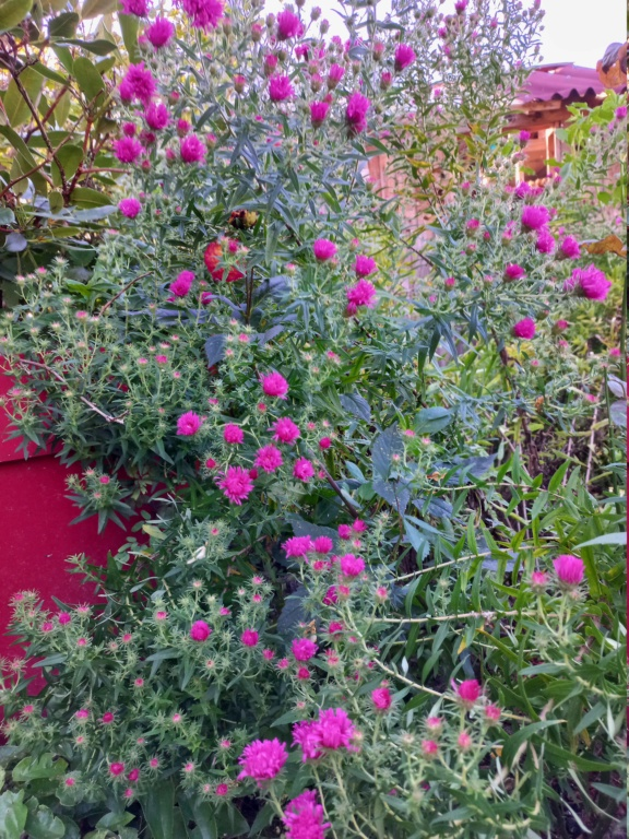 Aster d'automne  - Page 24 20211065