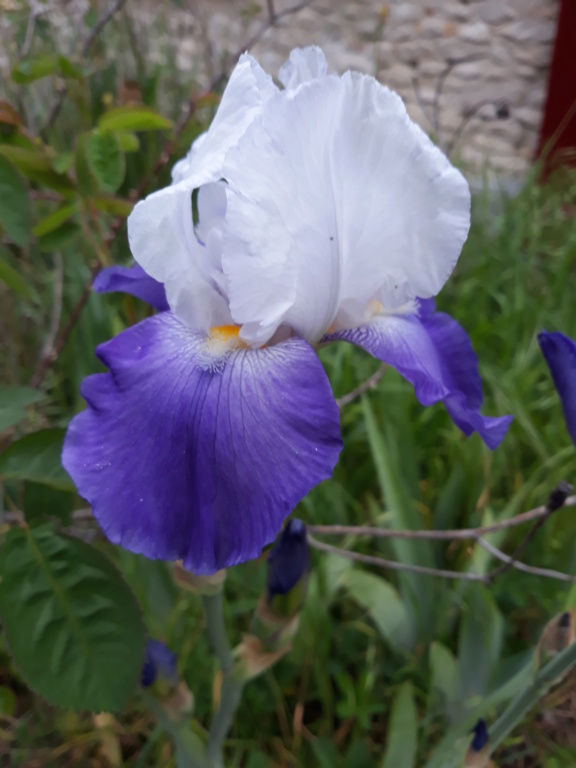 Iris barbu Arpzog11