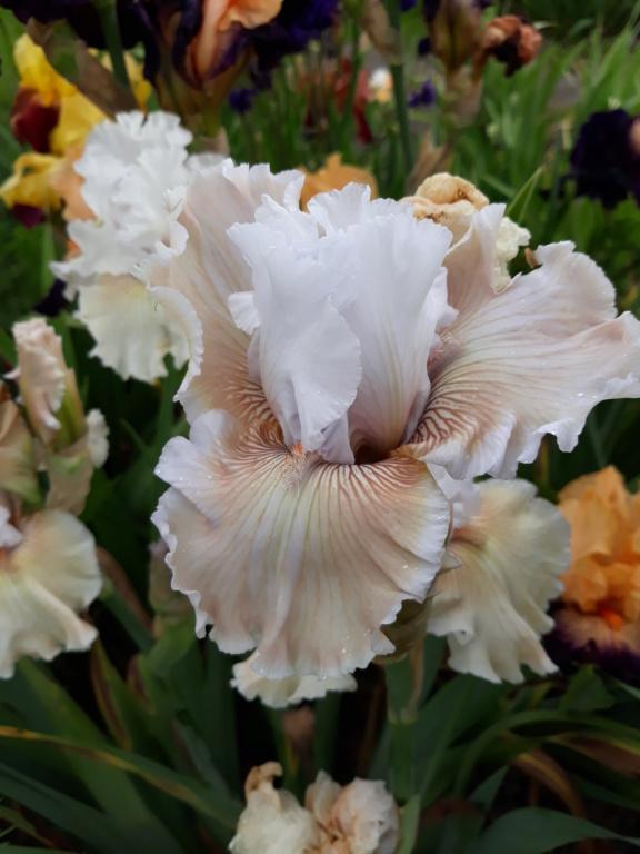 Iris 'Ask a Lady' - Barry Blyth 2005 Ask_a_10
