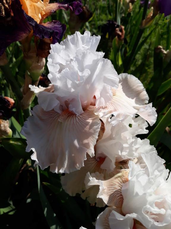 Iris 'Ask a Lady' - Barry Blyth 2005 Ask_a_12