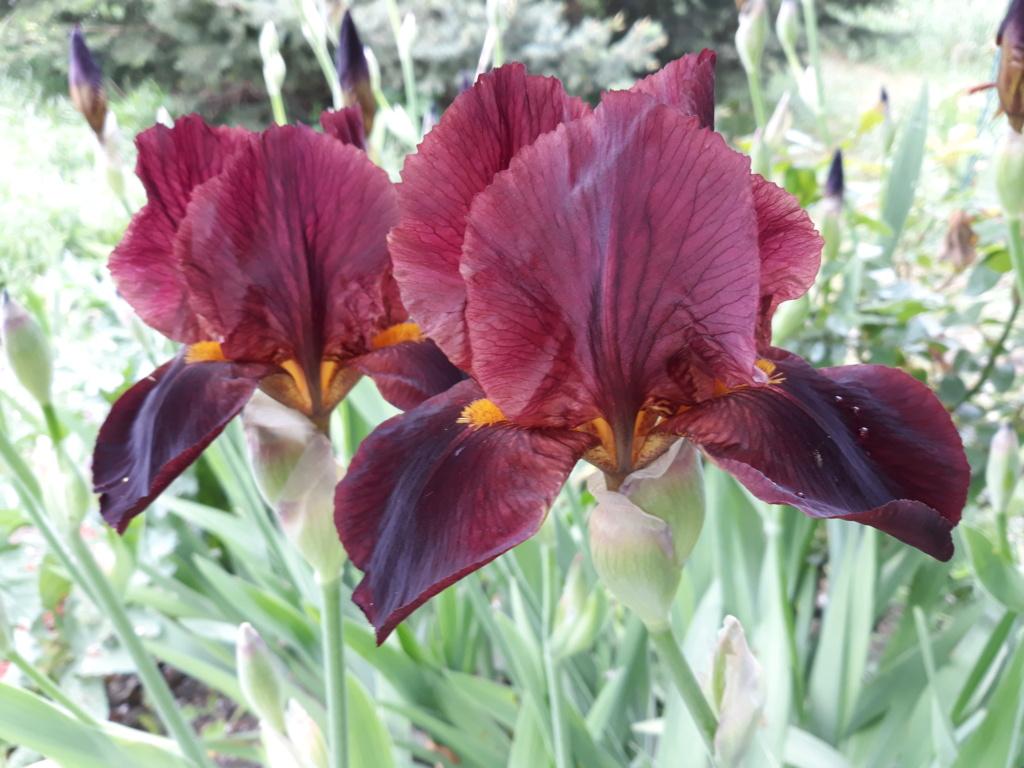Iris barbu Calien11