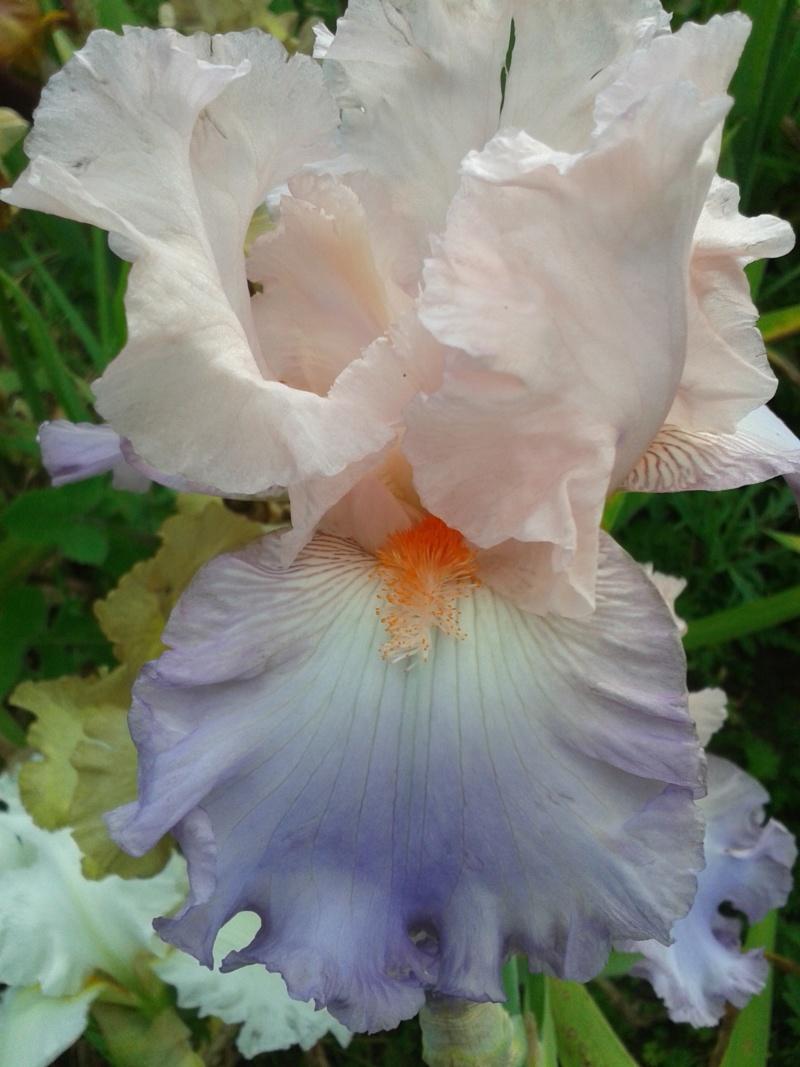 Iris 'Celebration Song' (Flora) [identification] French10