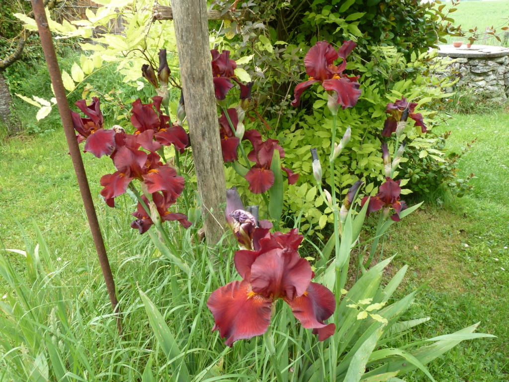 Grand iris bordeaux Gallan10