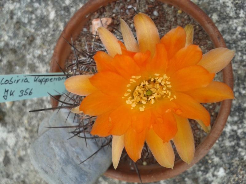 Cactus - floraisons 2019 - Page 2 Lobivi15
