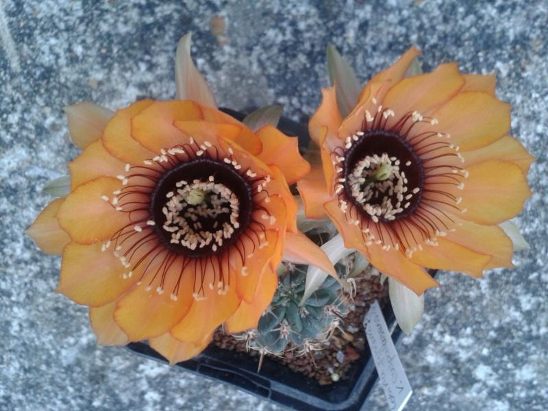 Cactus - floraisons 2019 - Page 2 Lobivi17