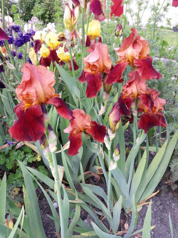 Floraison d'iris de 2017 ....... à 2021 - Page 23 Natche11
