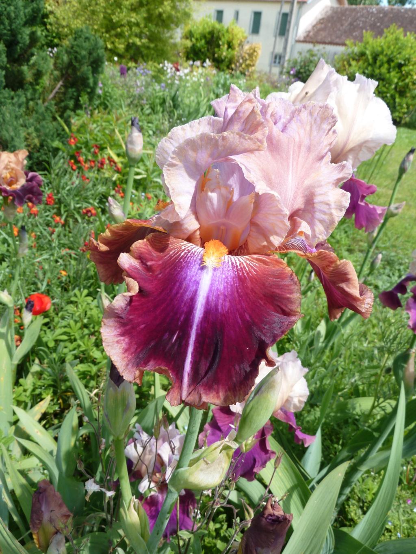 Iris 'Outrageous Fortune' - Schreiner 1989 Outrag10