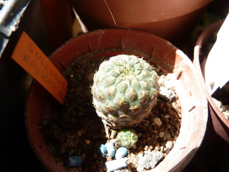 Sulcorebutia rauschii P1290910