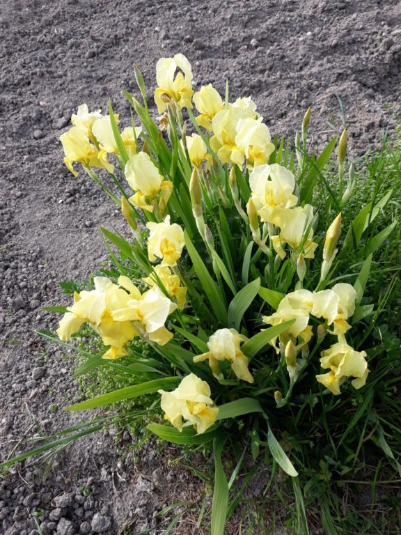 Iris barbu Sangre12