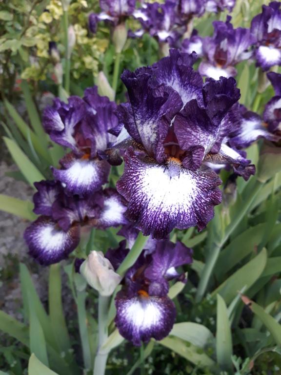 Iris barbu Vitrai11