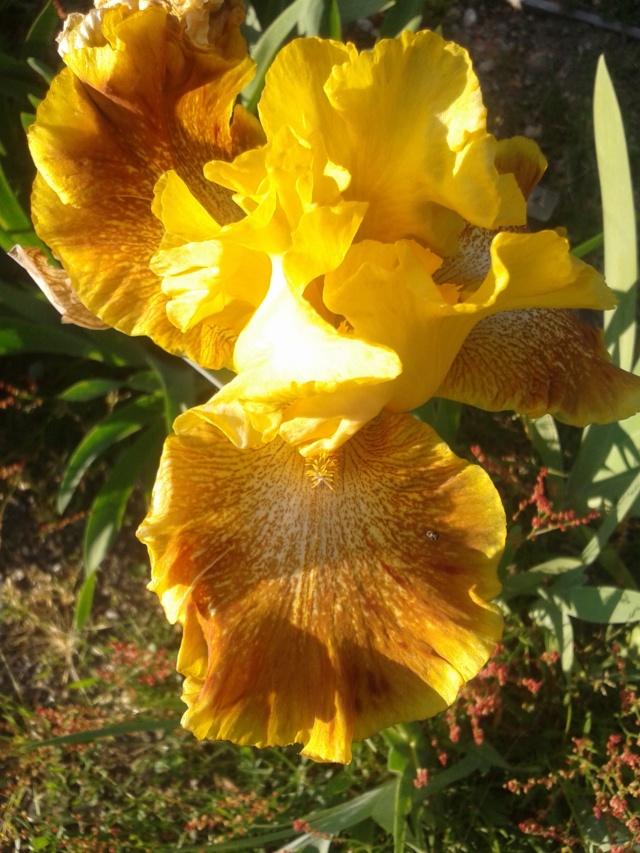 Iris 'Wild Jasmine' - Bernard Hamner 1983 Wild_j11