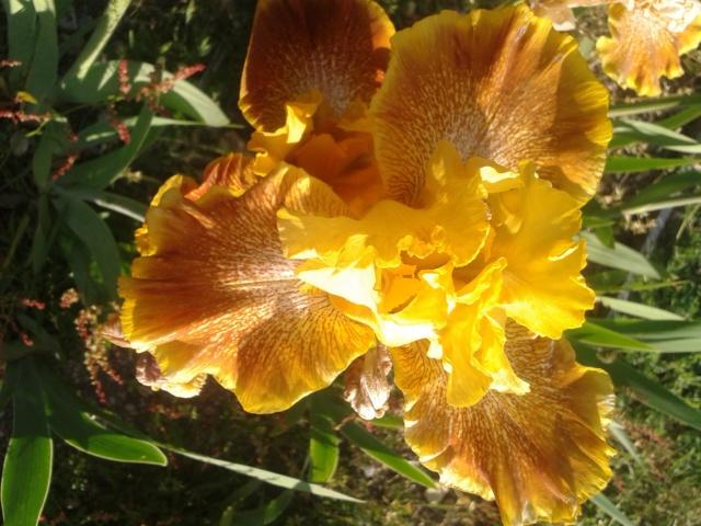 Iris 'Wild Jasmine' - Bernard Hamner 1983 Wild_j12