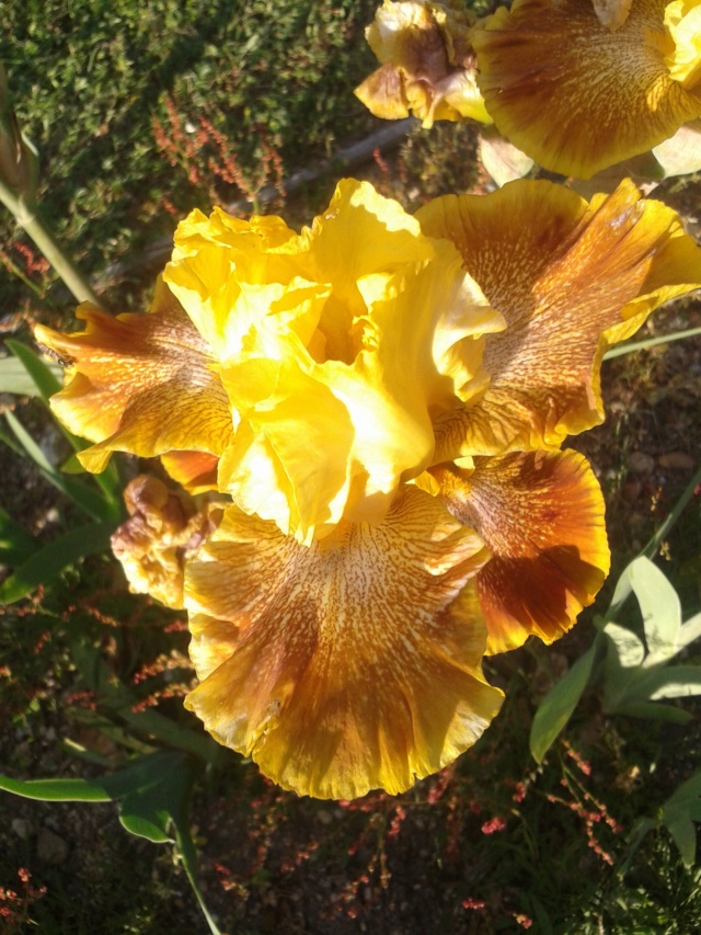 Iris 'Wild Jasmine' - Bernard Hamner 1983 Wild_j13