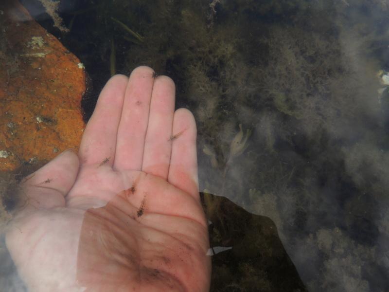 Bac eau de mer avec des crevettes locales Dscn8010