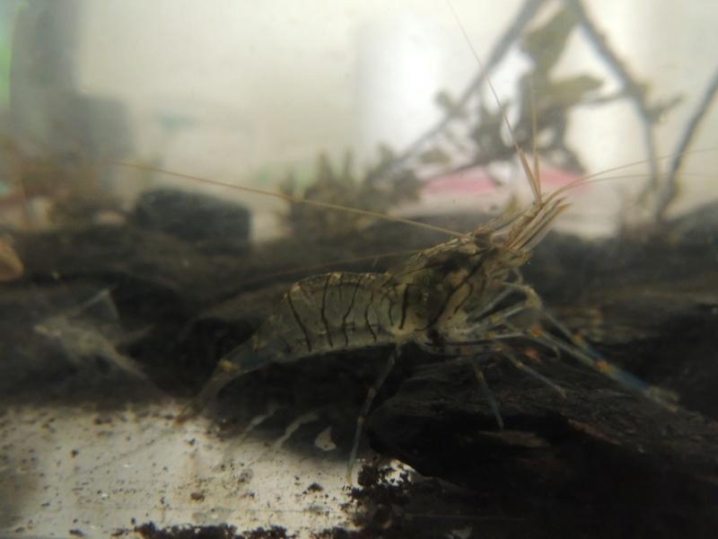 Bac eau de mer avec des crevettes locales Dscn8213