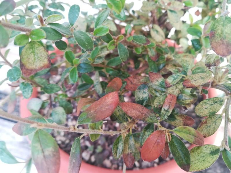 Fusione cotoneaster dammeri Img_2077