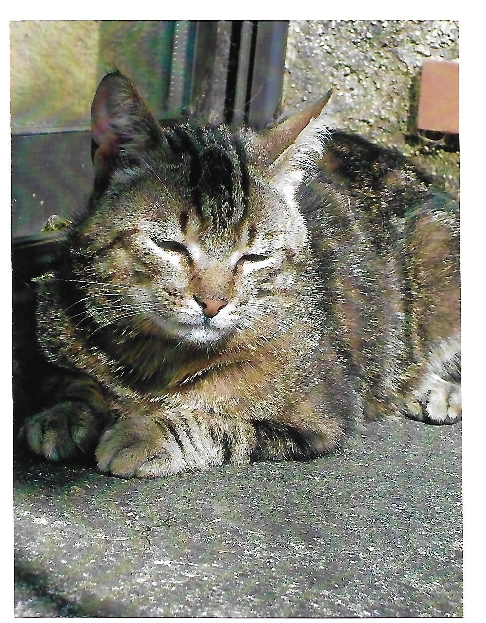 Perdu chat tigré à Tournefeuille 110