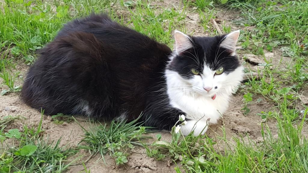 chatte noire et blanche à Tournefeuille 20180610