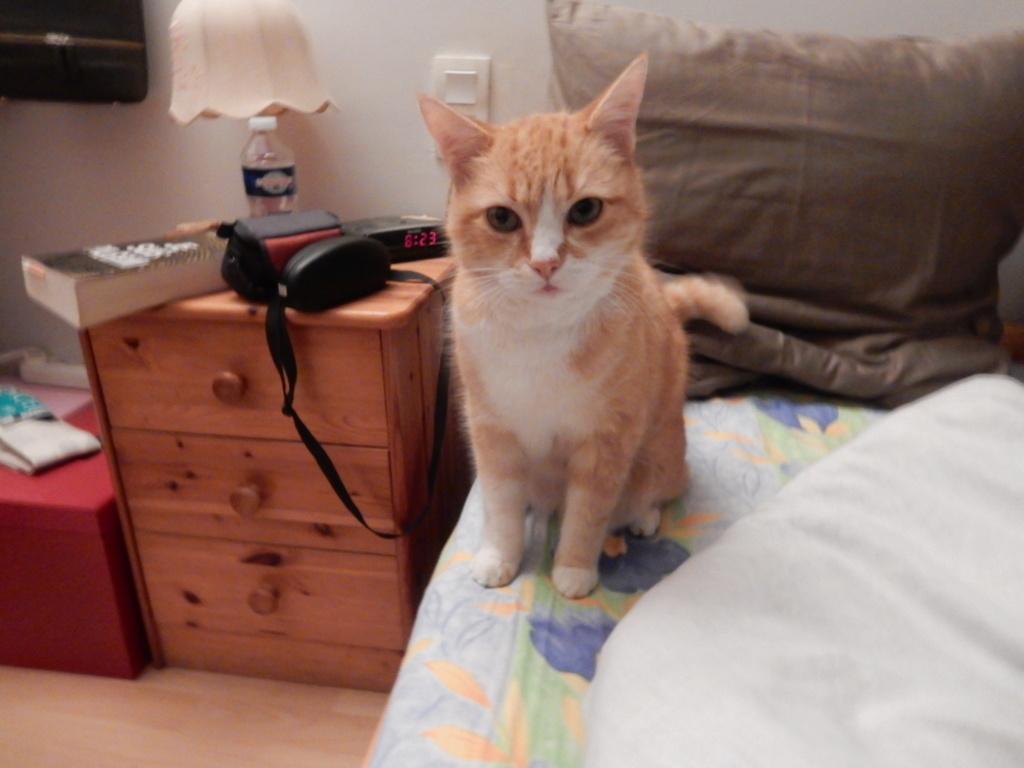 Perdu chat roux et blanc purpan Dscn2910