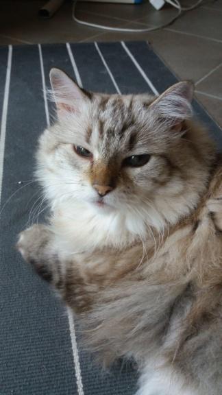 Perdue chatte tigrée poils mi-longs à Colomiers Img-2010