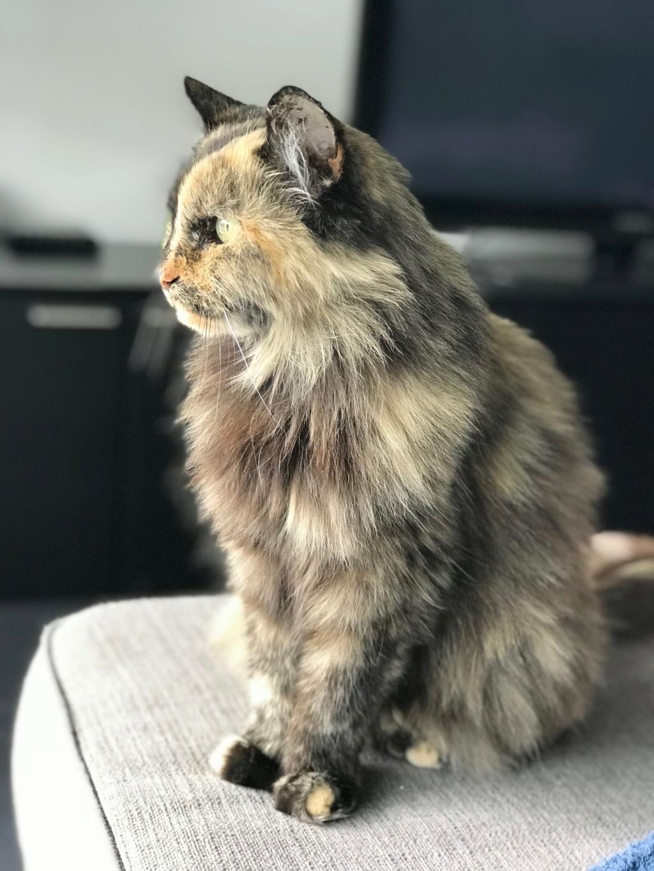 Perdue chatte écaille à Lardenne Img_0210