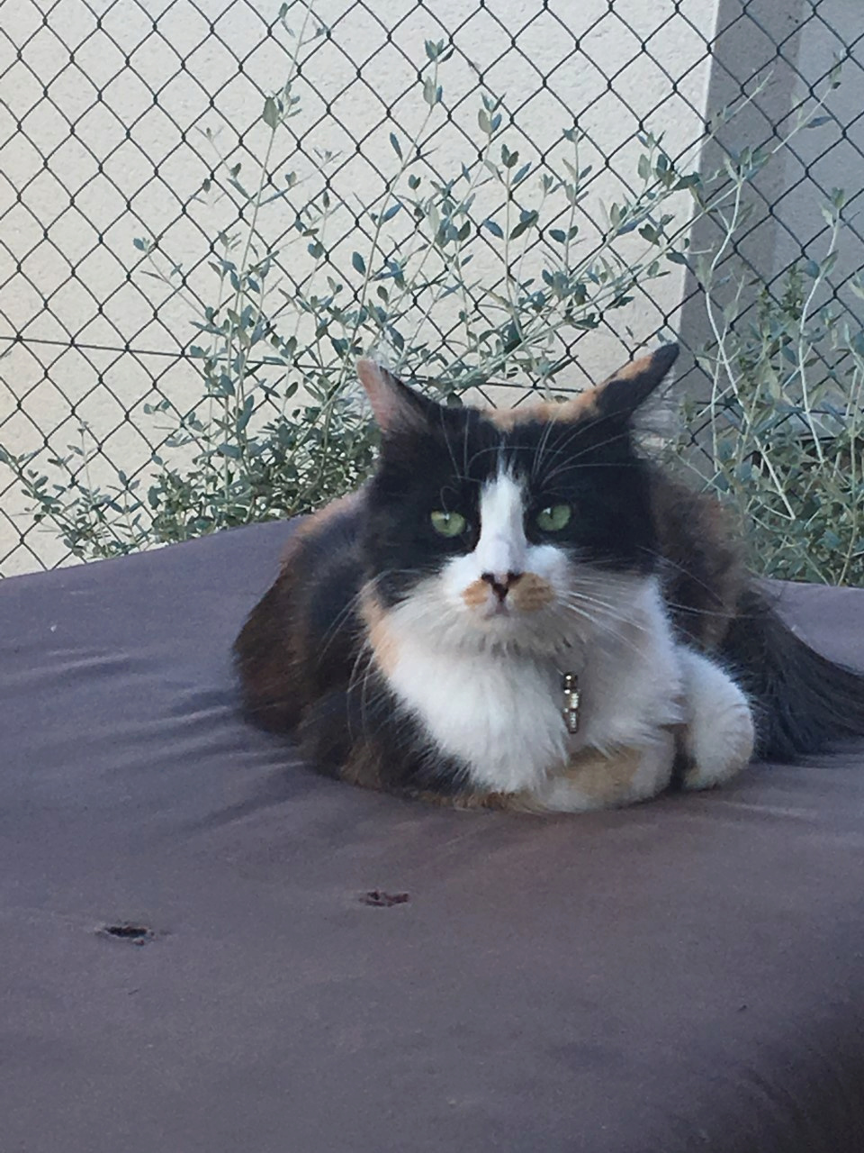 Perdue chatte tricolore à Colomiers Index10