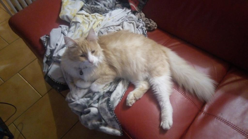 Perdu chat roux et blanc poils longs à Cugnaux Index15