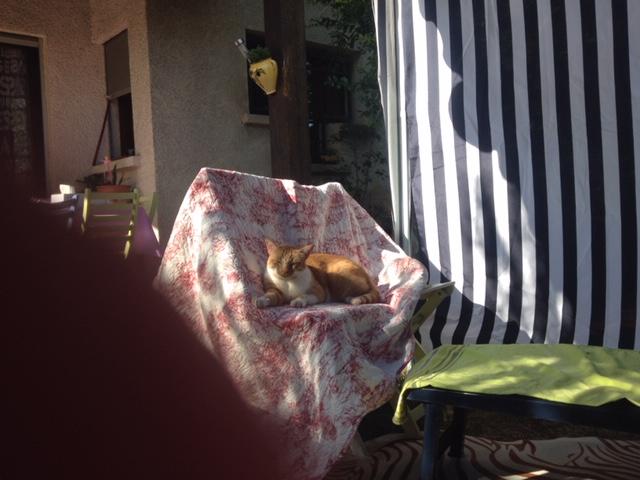 Perdu chat blanc et roux à Colomiers Radoun10