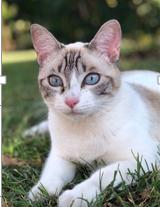 Chatte blanche / yeux bleus perdue à Tournefeuille Thumbn11