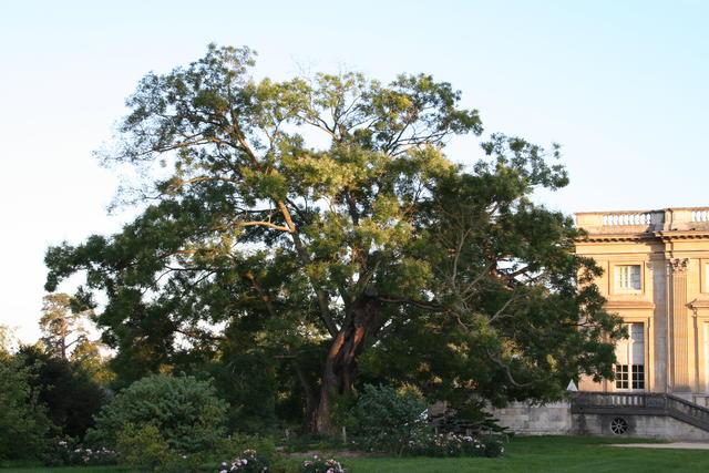 Les arbres admirables du domaine de Versailles 1524