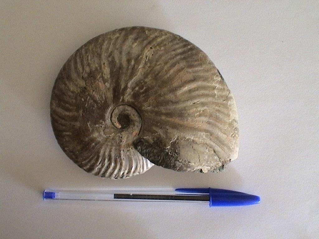 Qué ammonites es Cleon10