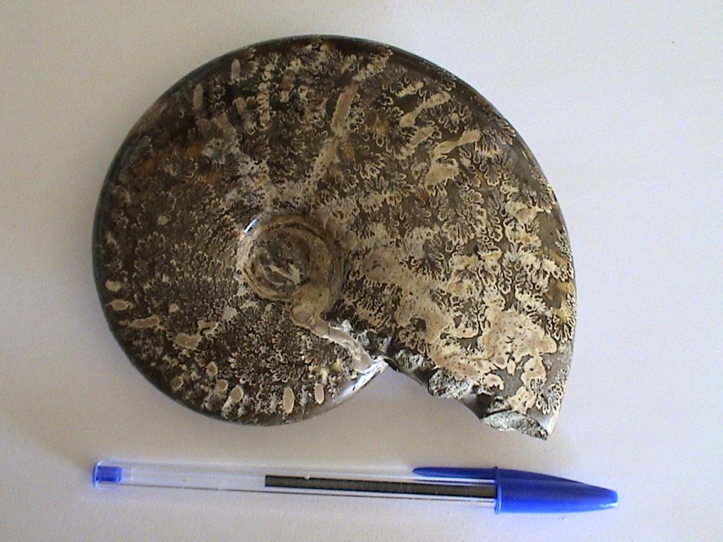 Qué ammonites es Dsc00010