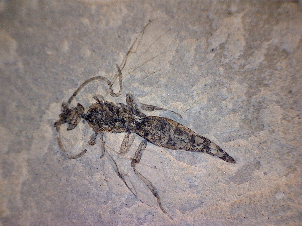 Ayuda a identificar fósil Insect10