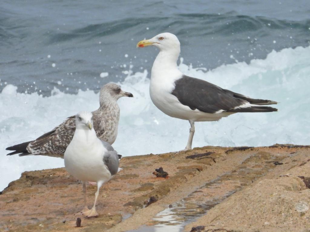 Fórum Aves - Birdwatching em Portugal - Portal Dscn1711
