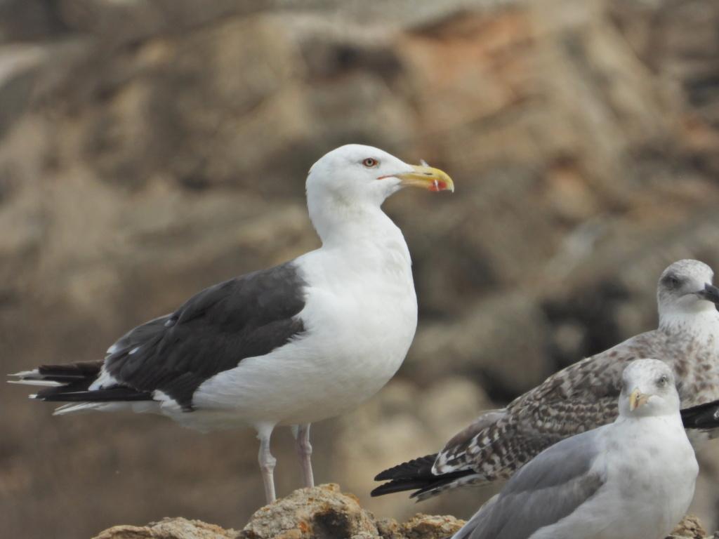 Fórum Aves - Birdwatching em Portugal - Portal Dscn1817
