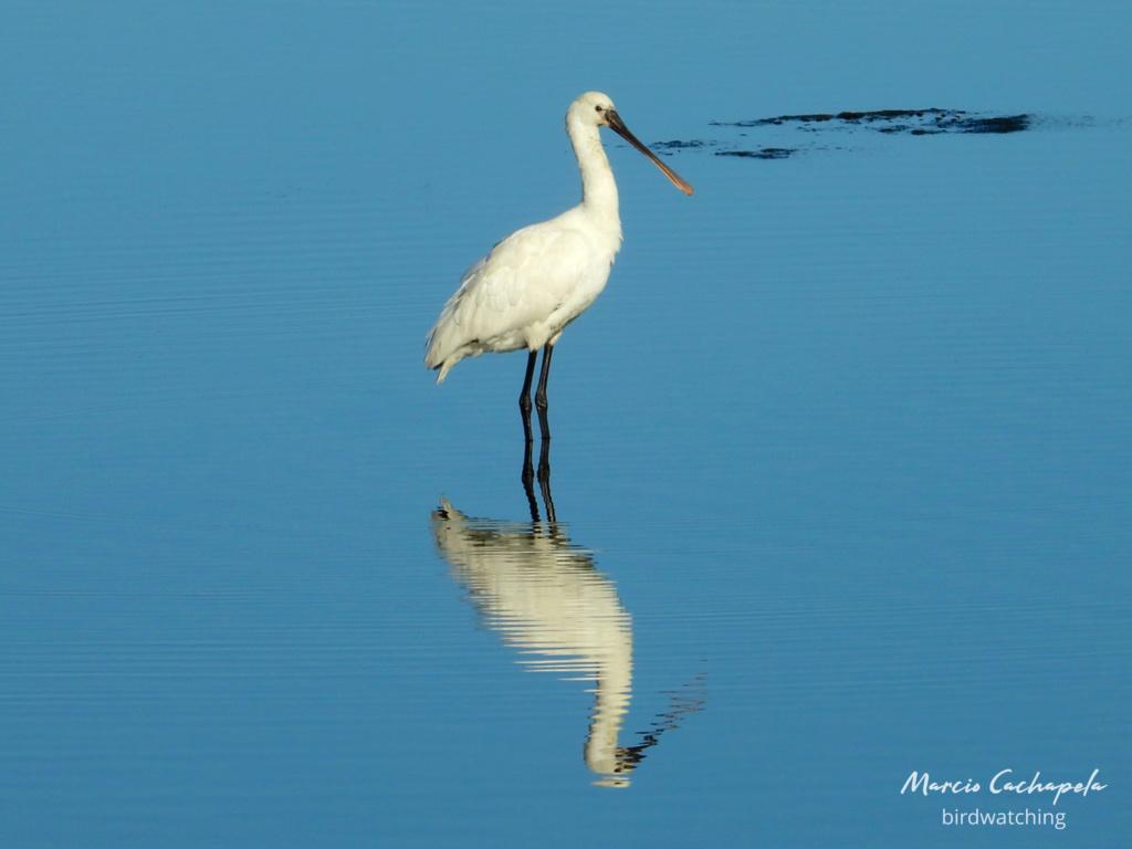 Fórum Aves - Birdwatching em Portugal - Portal Dscn3711