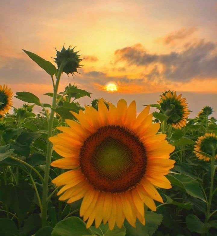Suncokreti-sunflowers - Page 28 Dhaybm10