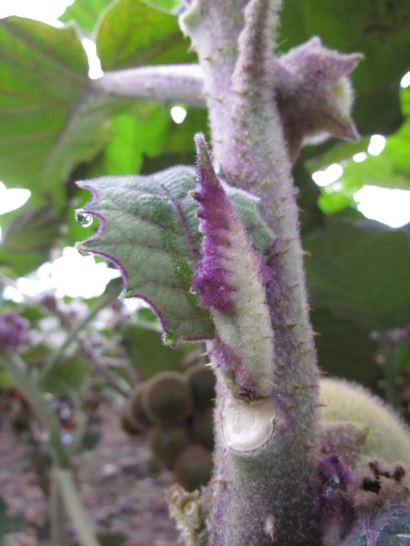 Solanum quitoense - lulo Img_0612
